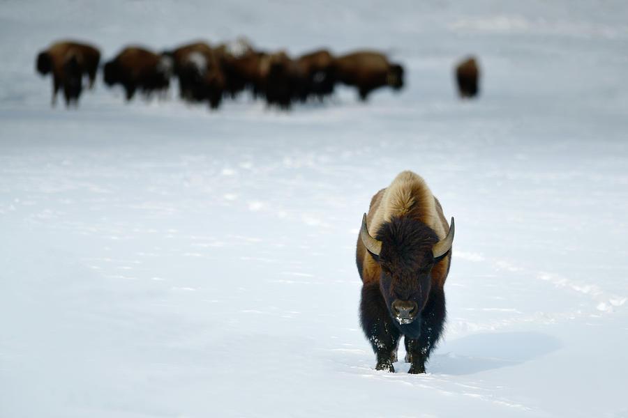 Alpha Male Photograph - Alpha Male Bison by Surjanto Suradji