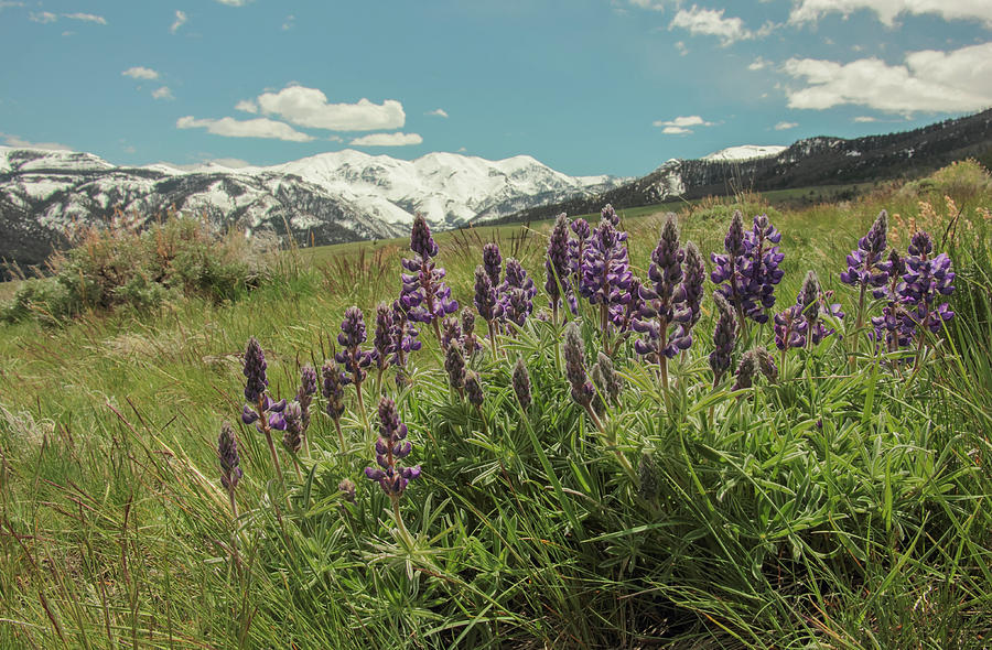 Lupine Photograph - Alpine Spring by Angelique Rea