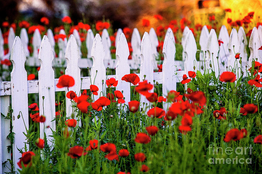 Alsatian Red Poppies Photograph