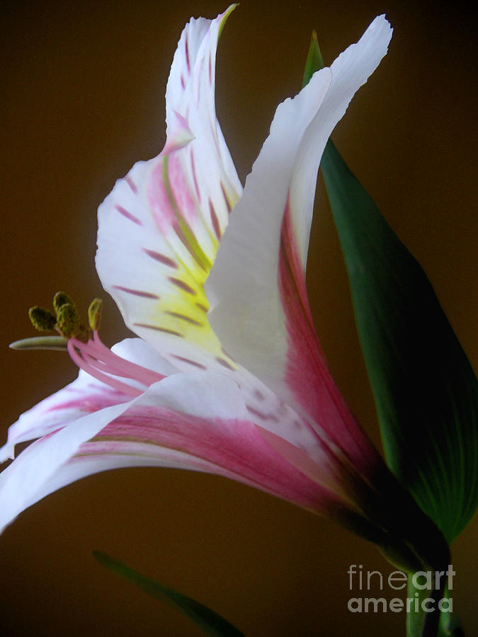 Nature Photograph - Alstroemeria - Responding by Lucyna A M Green