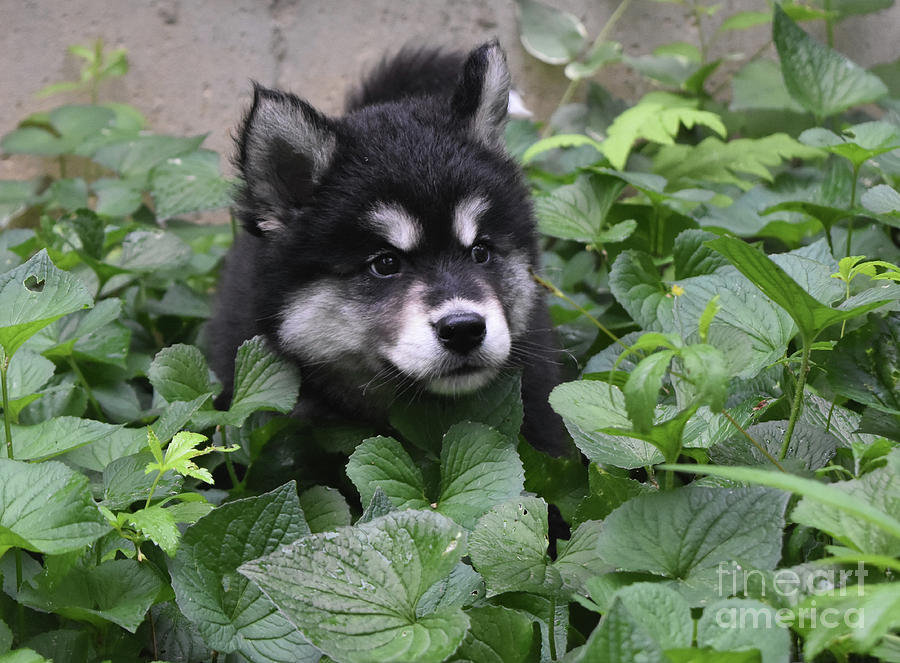 Dog Photograph - Alusky Pup Peaking Out Of Green Foliage by DejaVu Designs
