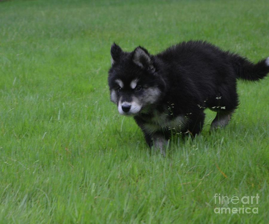 Dog Photograph - Alusky Puppy Creeping Through Green Grass by DejaVu Designs