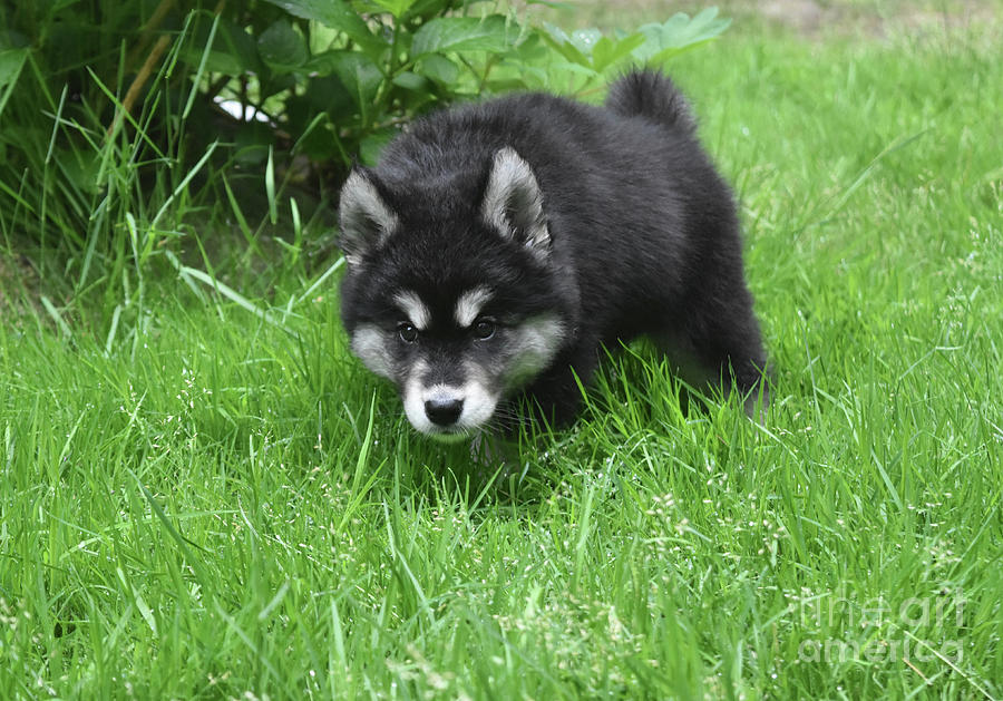 Dog Photograph - Alusky Puppy Stalking Through Tall Green Grass by DejaVu Designs