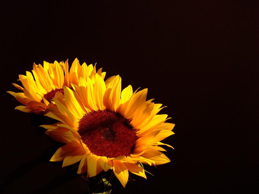 Sunflowers Photograph - Always Into The Sun by Juana Maria Garcia-Domenech