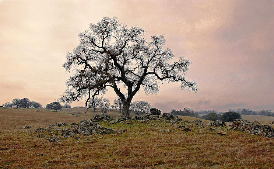 Landscape Photograph - Amador Oak by M Ryan