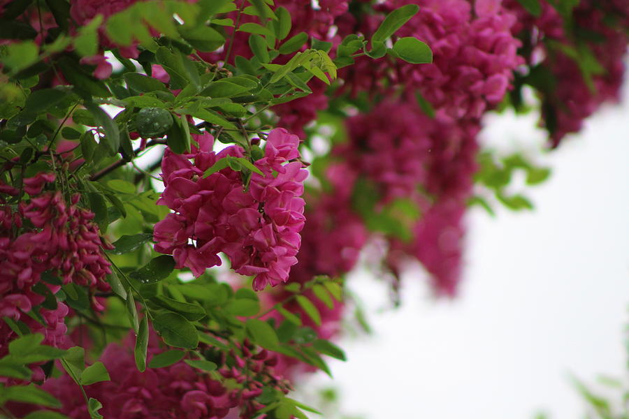 Amaranth Photograph - Amaranth Pink Flowering Locust Tree in Spring Rain by Colleen Cornelius