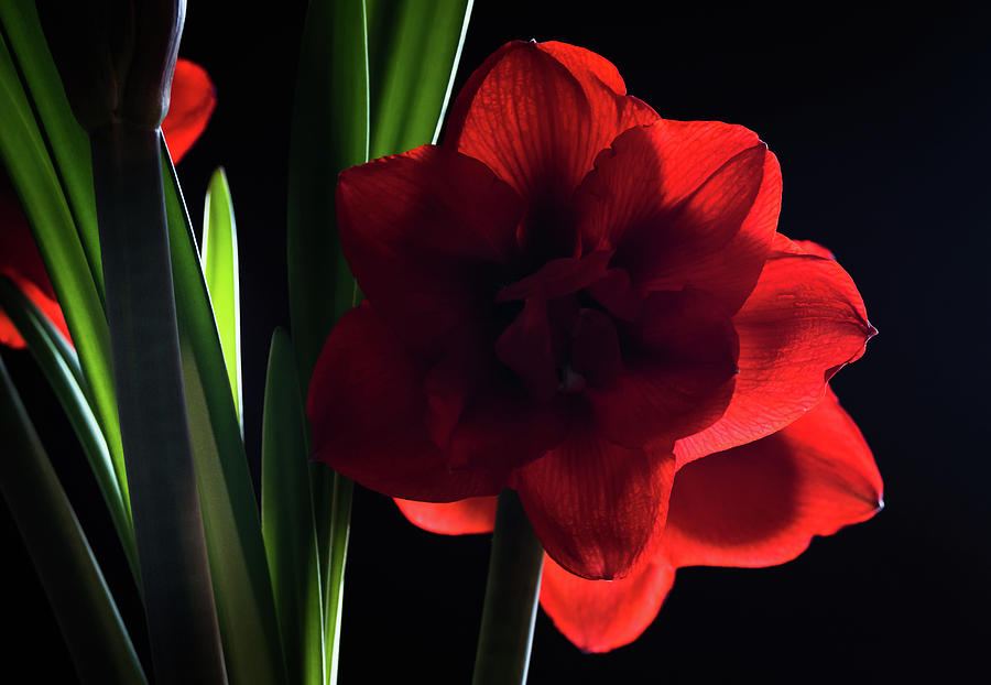 Amaryllis Bloom by Serena Vachon