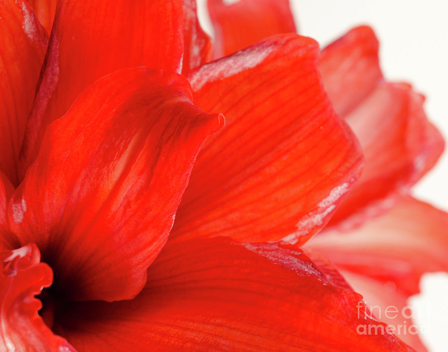 Amaryllis Photograph - Amaryllis Fade Red Amaryllis Flower Subtly Fading Into A White Background by Andy Smy