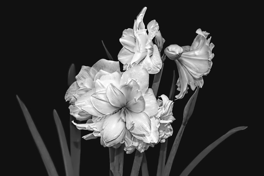 Amaryllis Photograph - Amaryllis In Black And White by Kay Brewer