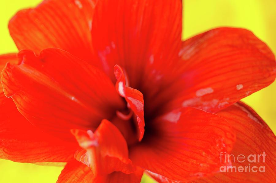 Amaryllis Photograph - Amaryllis Jaune Red Amaryllis Flower On Bright Yellow Background by Andy Smy