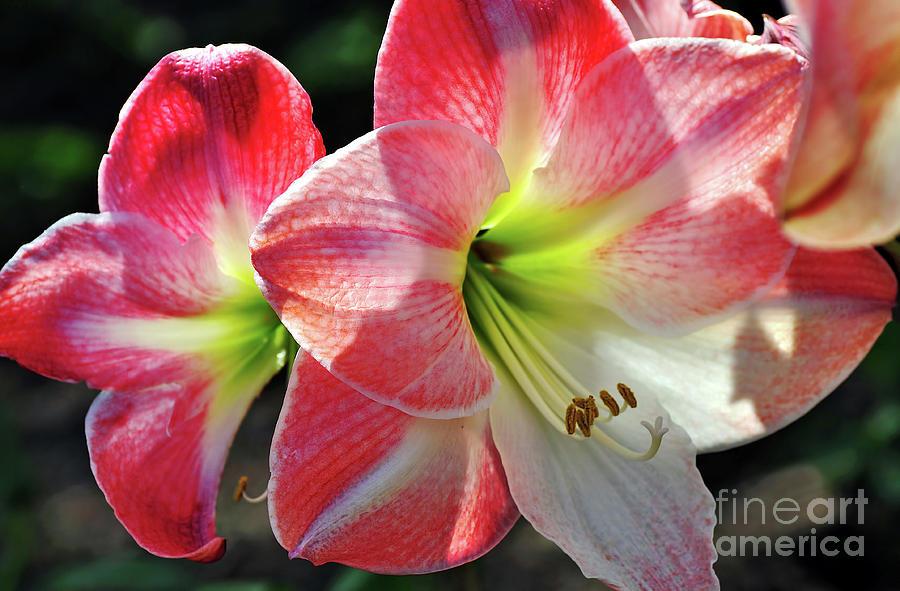 Photography Photograph - Amaryllis by Kaye Menner