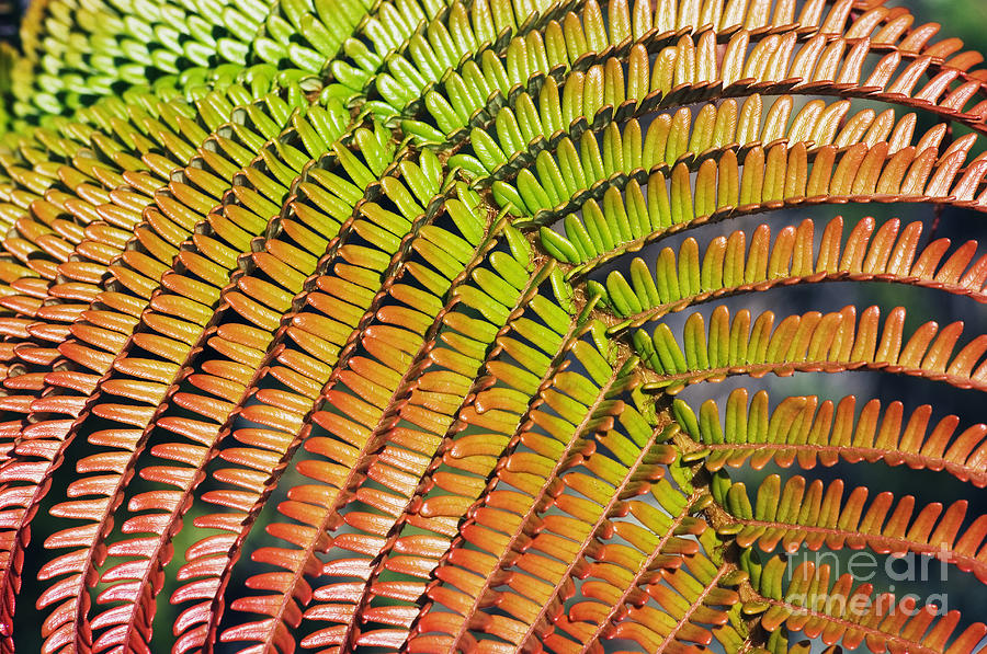 Abstract Photograph - Amaumau Fern Frond by Greg Vaughn - Printscapes