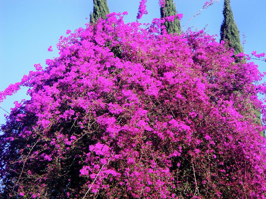 Amazing dark pink flower tree photograph by sofia metal queen pink flowers photograph amazing dark pink flower tree by sofia metal queen mightylinksfo