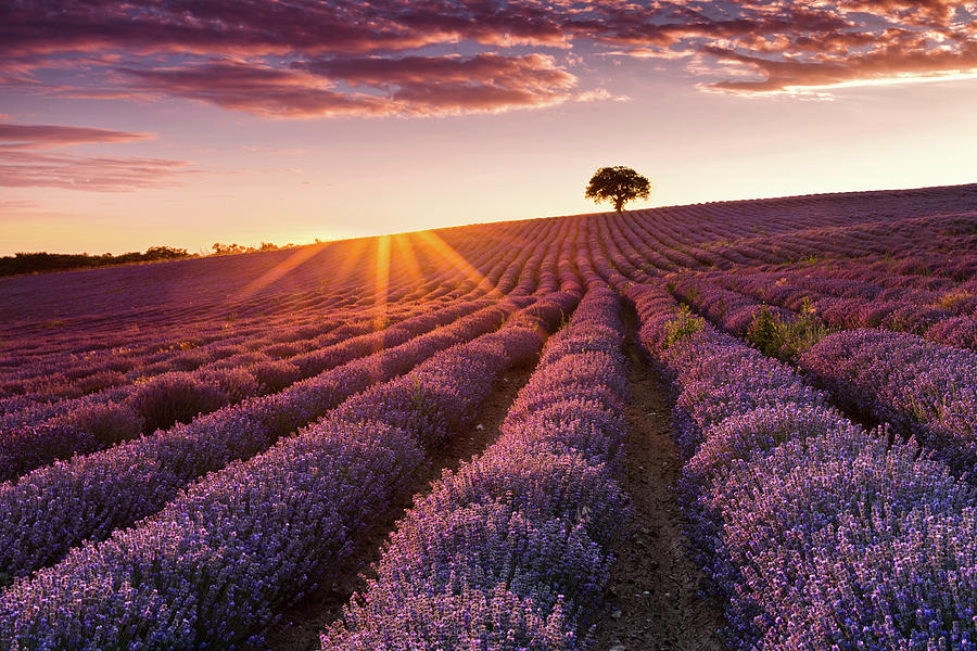 Agriculture Photograph - Amazing Lavender Field At Sunset by Evgeni Dinev