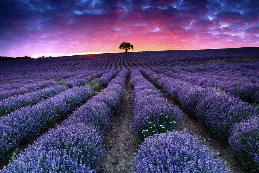 Lavender Dreams by Evgeni Dinev