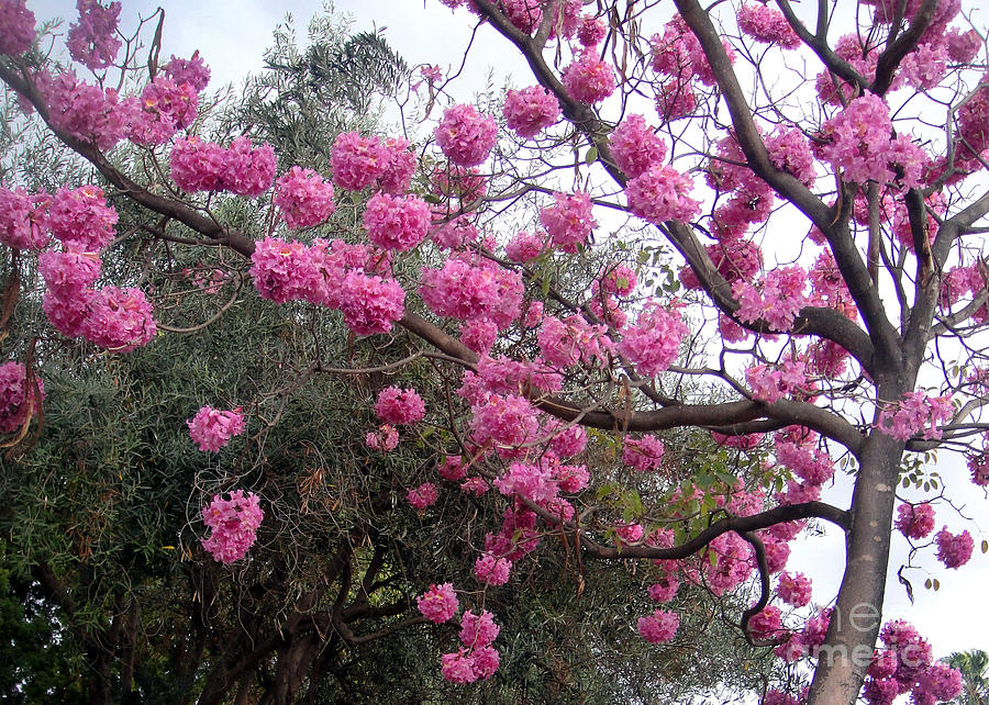 Amazing pink flower tree february in california photograph by sofia pink photograph amazing pink flower tree february in california by sofia metal queen mightylinksfo