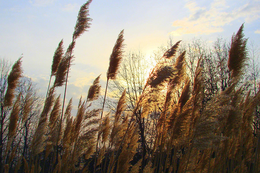 Skies Photograph - Amber Waves Of Pampas Grass by J R Seymour