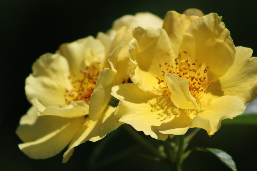 Amber Photograph - Amber Yellow Country Rose by Colleen Cornelius