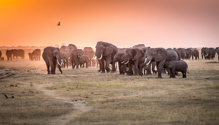 Nature Photograph - Amboseli Morning Stroll To Starbucks by Jeffrey C. Sink