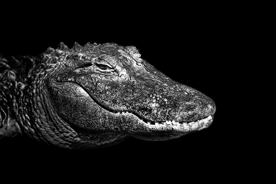 Horizontal Photograph - American Alligator by Malcolm MacGregor
