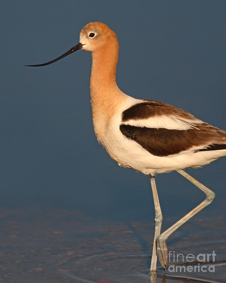 Avocet Photograph - American Avocet Standing Tall by Max Allen