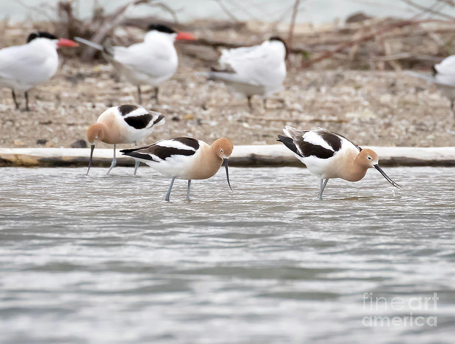 Canon Photograph - American Avocets  by Ricky L Jones