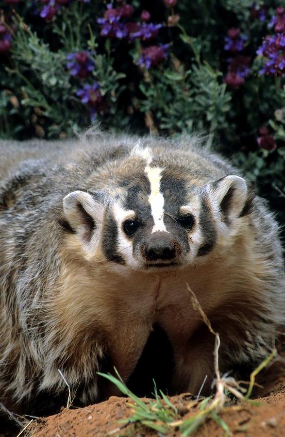 Wildlife Photograph - American Badger On Alert by Larry Allan