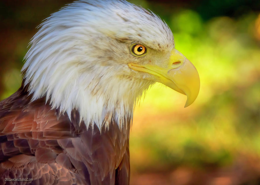 Bald Eagle Colors
