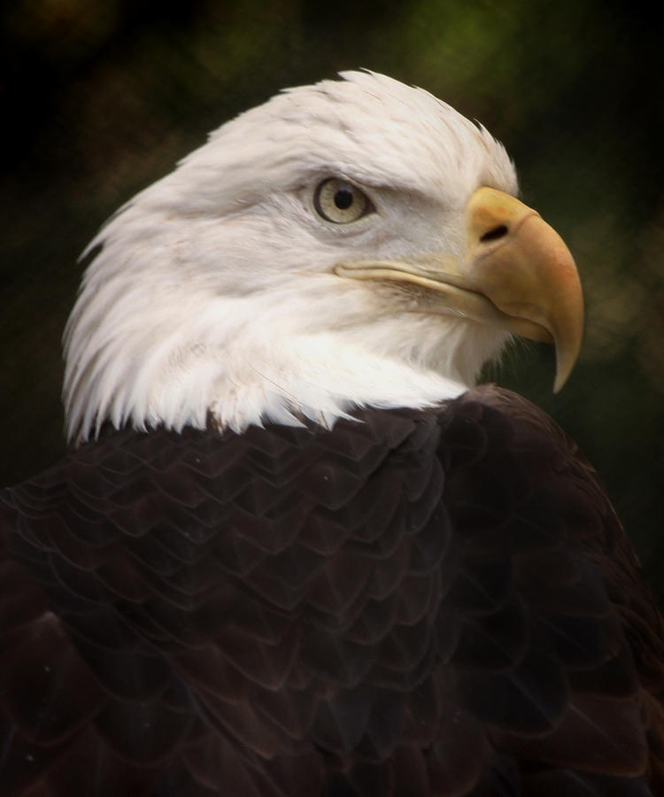 Bald Eagle Photograph - American Bald Eagle by Joseph G Holland