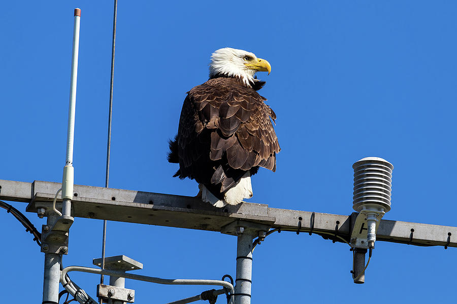 Bald Eagle Photograph - American Bald Eagle On Communication Tower by David Gn