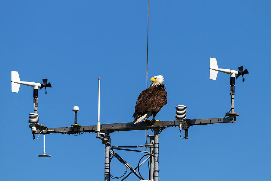 Bald Eagle Photograph - American Bald Eagle Perched On Communication Tower by David Gn