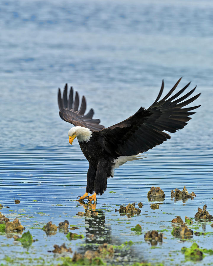 Hood Photograph - American Bald Eagle Sets Down On Fish by Gary Langley