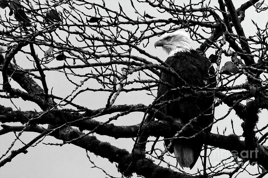 Bald Eagle Photograph - American Bald Eagle by Sue Harper