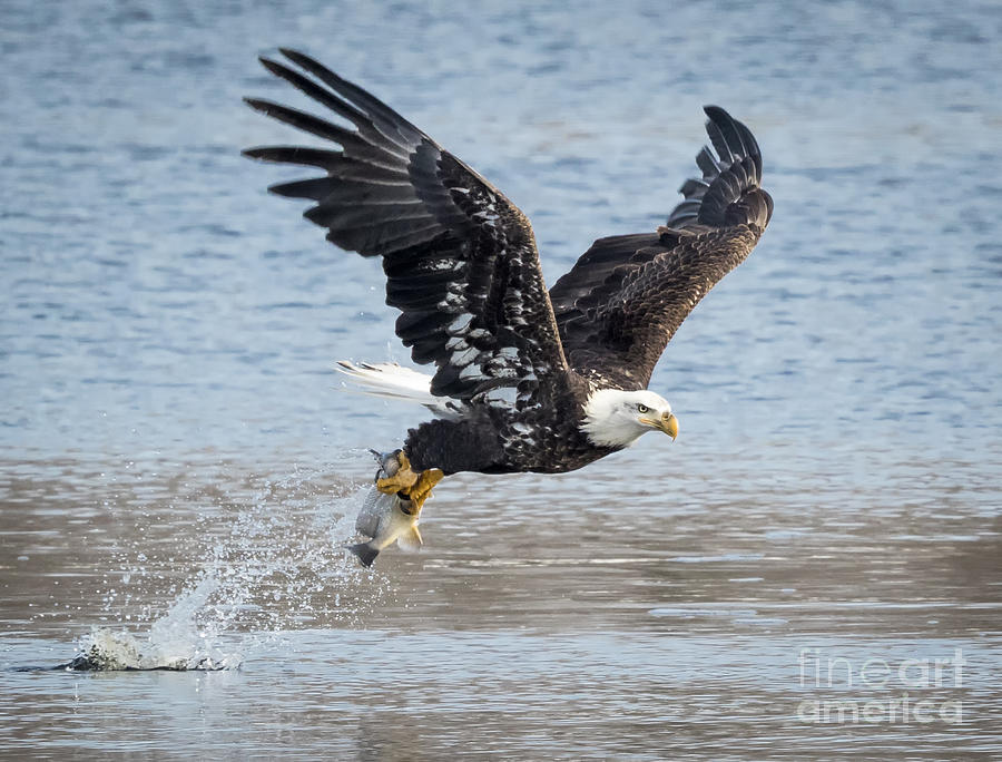Canon Photograph - American Bald Eagle Taking off by Ricky L Jones