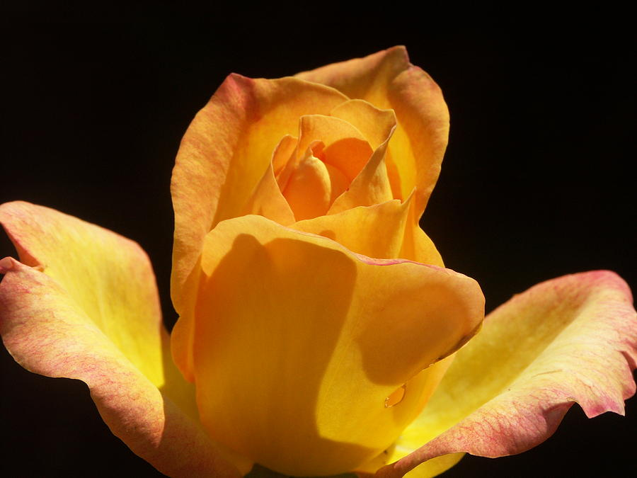 Rose Photograph - American Beauty by Shel Perkins