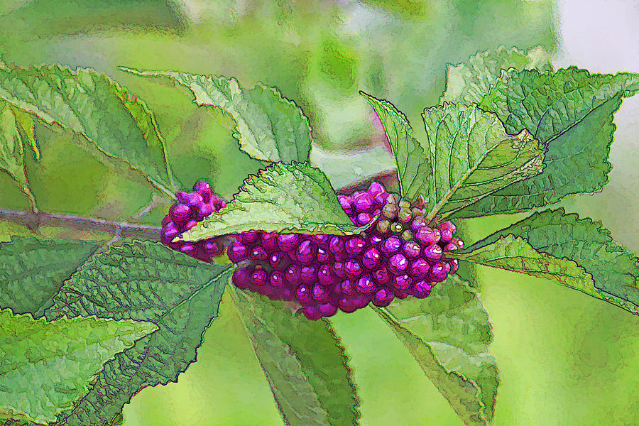 American Beautyberry Photograph - American Beautyberry by HH Photography of Florida