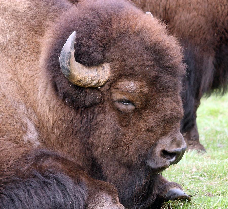 Image result for sleeping bison