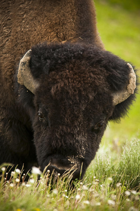 Bison Photograph - American Bison by Chad Davis