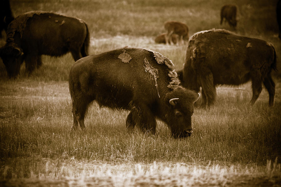 American West Photograph - American Bison Grazing - Bw by Chris Bordeleau
