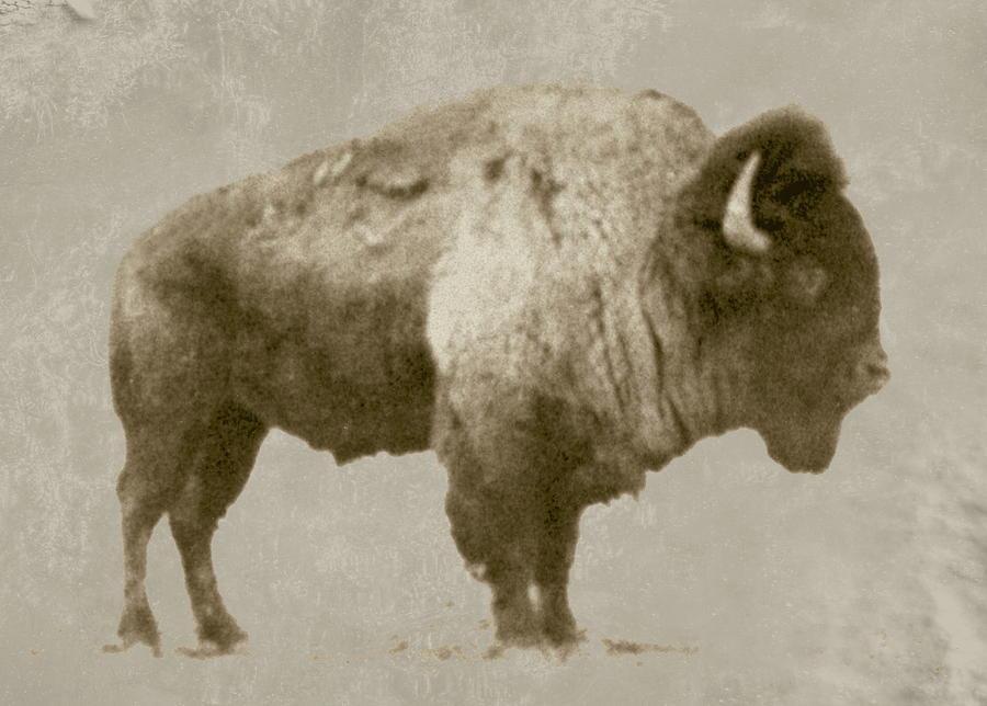 American Bison by Jim Sauchyn
