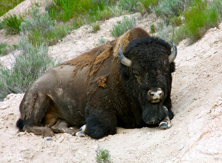 America Photograph - American Bison by Karon Melillo DeVega