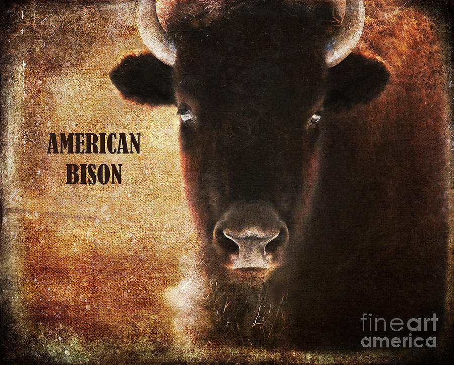 Animal Photograph - American Bison by Olivia Hardwicke