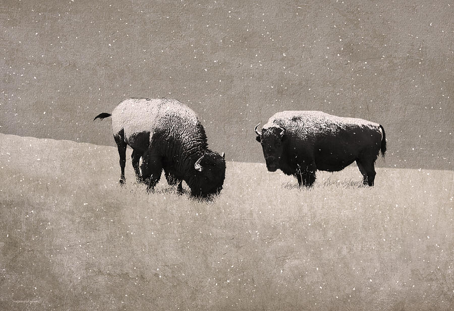 Ron Jones Photograph - American Bison by Ron Jones