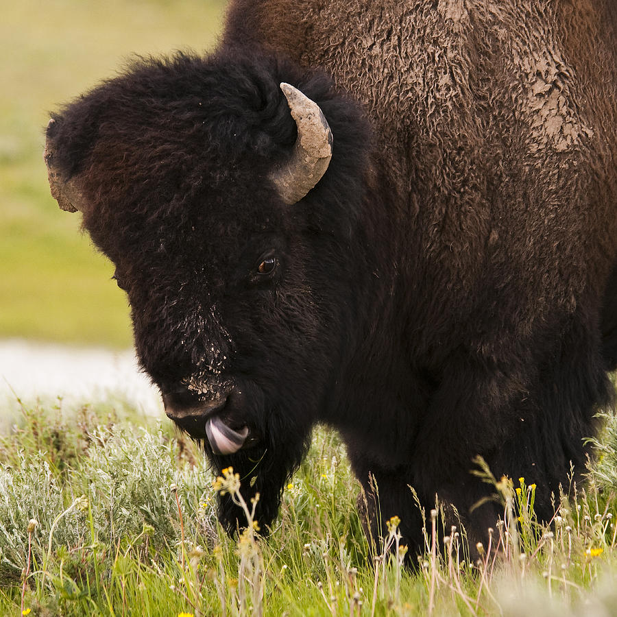 Bison Photograph - American Bison Tongue by Chad Davis