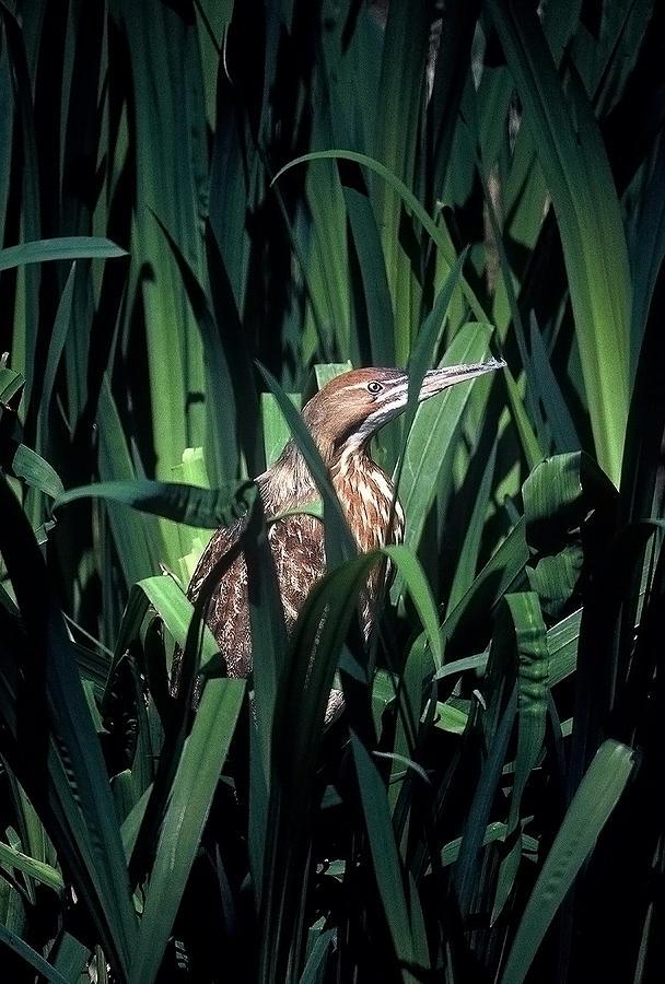 Birds Photograph - American Bittern by Robert Ashbaugh