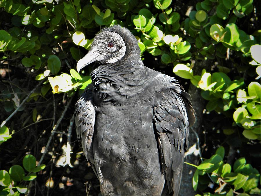 American Black Vulture by Ken Bradford