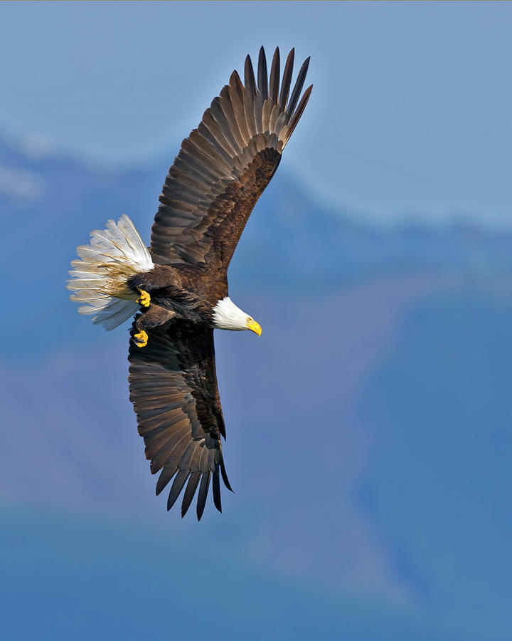 American Photograph - American Blad Eagle On The Wing by Gary Langley