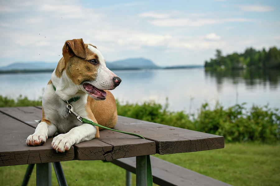 Hound Dog Photograph - American Breed On Table by Justin Mountain