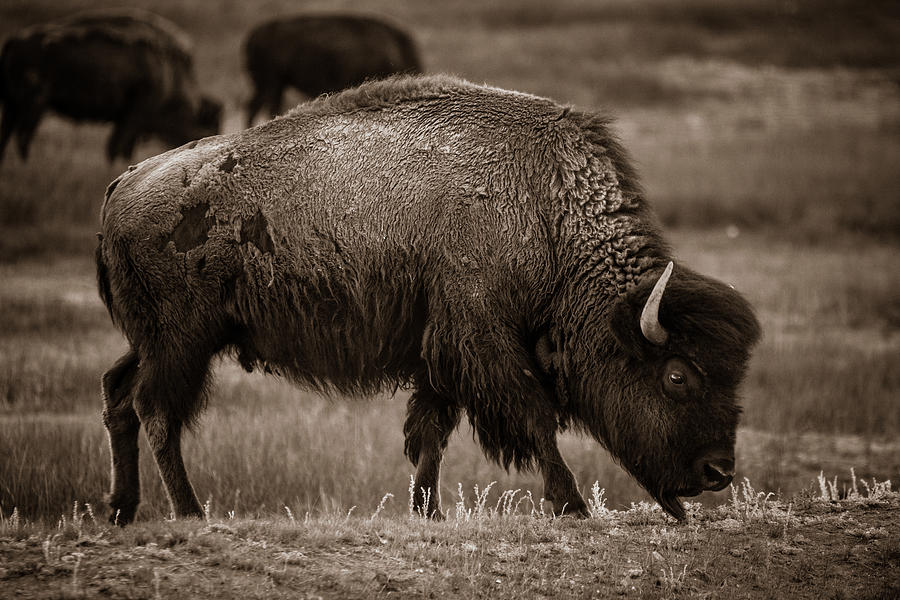 American West Photograph - American Buffalo Grazing by Chris Bordeleau