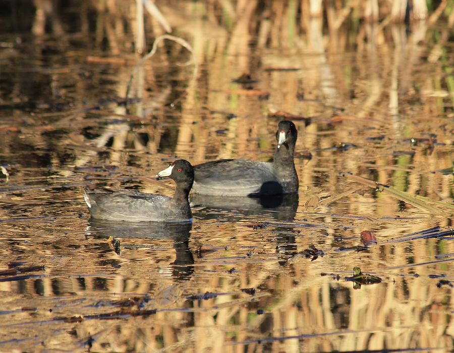 American Coot Photograph - American Coots by Jerry Battle